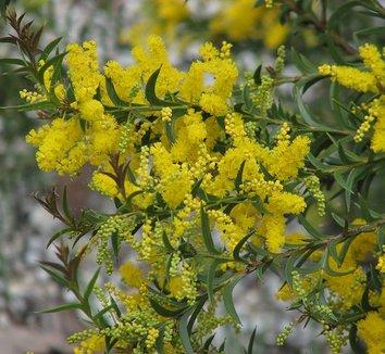 Acacia triptera 3 flower