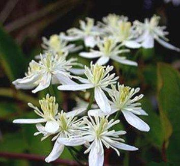 Clematis terniflora 2 flower, form