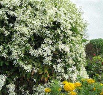 Clematis terniflora 1 flower, form