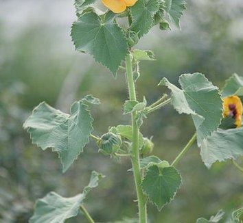 Abutilon indicum 4 flower, form
