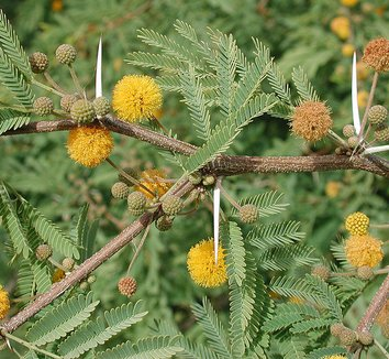 Acacia farnesiana 1 flower