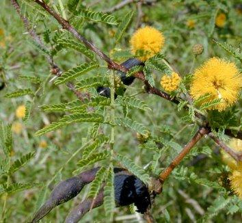 Acacia farnesiana 5 flower