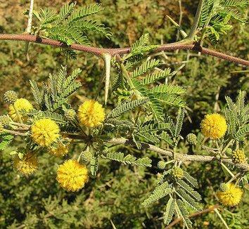 Acacia farnesiana 8 flower