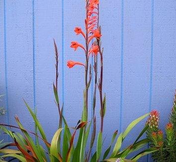 Watsonia tabularis 3 form