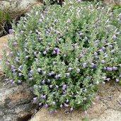Scutellaria diffusa