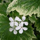 Lunaria annua 'Variegata' [white-flowered]