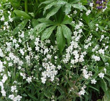 Omphalodes linifolia 5 flower