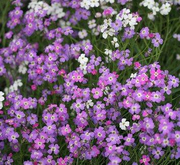 Malcolmia maritima 1 flower
