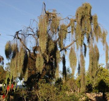 Acacia pendula 1 form