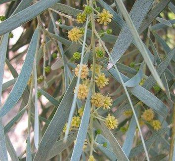 Acacia pendula 6 flower