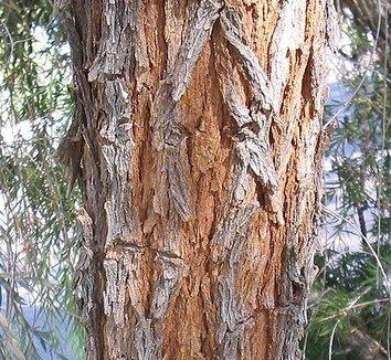 Acacia pendula 5