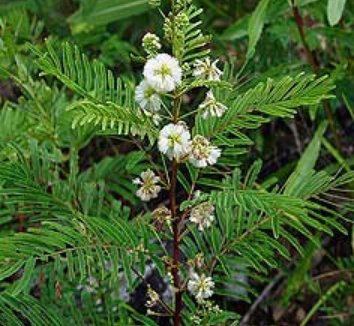 Acacia angustissima 3 flower, form