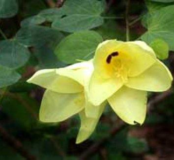 Bauhinia tomentosa 3 flower, form
