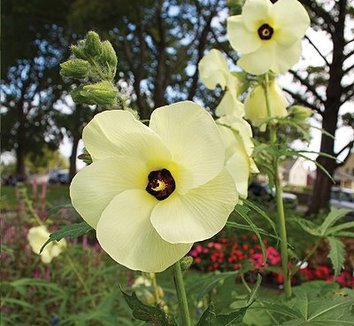 Abelmoschus manihot 4 flower