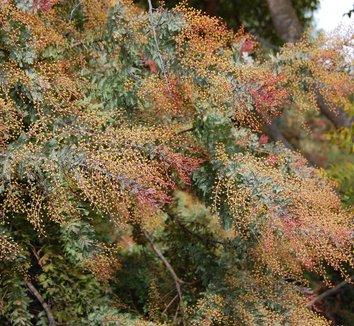 Acacia baileyana 'Purpurea' 1 flower