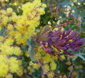 Acacia baileyana 'Purpurea' 4