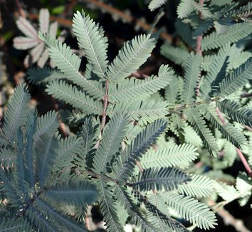 Acacia baileyana 'Purpurea' 5
