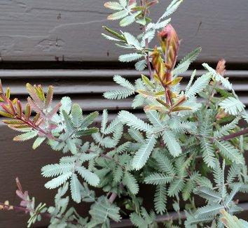 Acacia baileyana 'Purpurea' 6