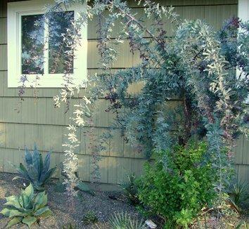 Acacia baileyana 'Purpurea' 7 form