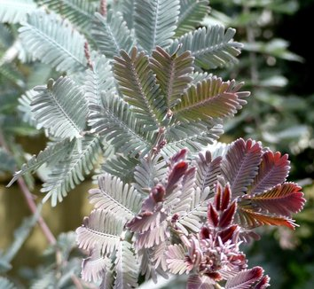 Acacia baileyana 'Purpurea' 9