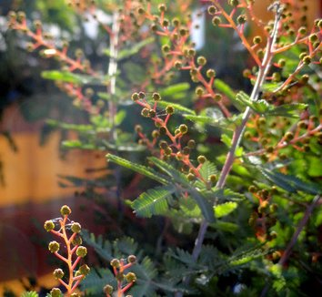 Acacia baileyana 'Purpurea' 8
