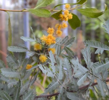 Acacia baileyana 'Purpurea' 13 flower
