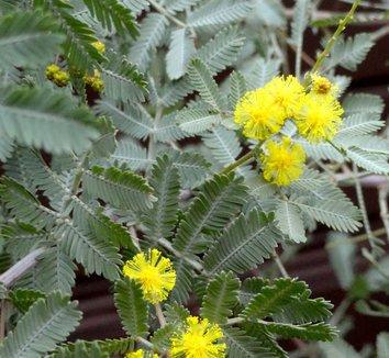 Acacia baileyana 'Purpurea' 14 flower