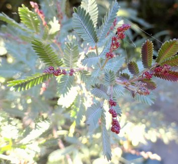 Acacia baileyana 'Purpurea' 21