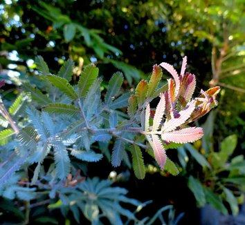 Acacia baileyana 'Purpurea' 19