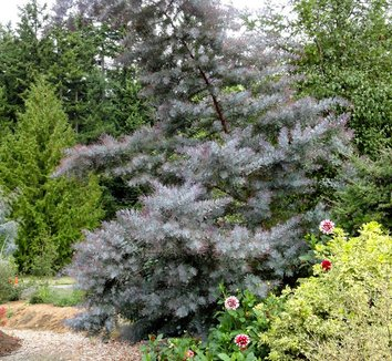 Acacia baileyana 'Purpurea' 17 form