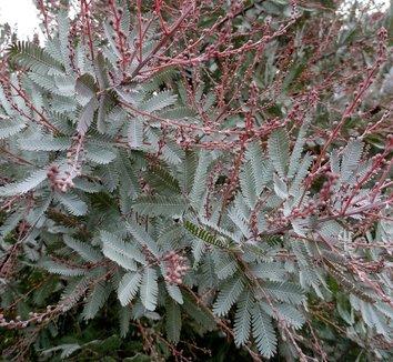 Acacia baileyana 'Purpurea' 16