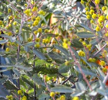 Acacia baileyana 'Purpurea' 29 flower
