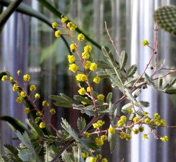 Acacia baileyana 'Purpurea' 28 flower