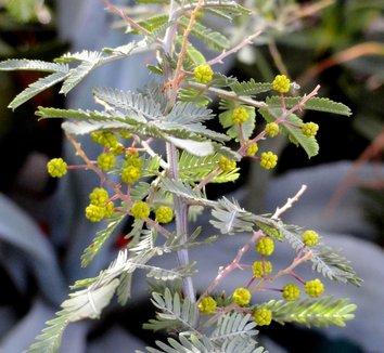 Acacia baileyana 'Purpurea' 27 flower