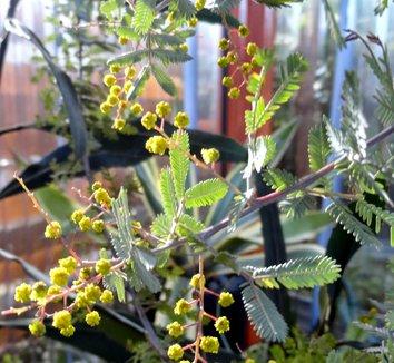 Acacia baileyana 'Purpurea' 26 flower