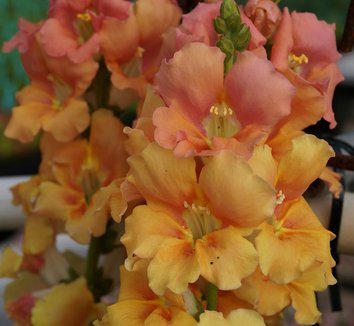 Antirrhinum majus 'Chantilly Peach' 7 flower