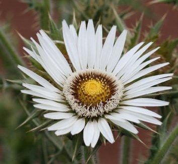 Berkheya cirsiifolia 1 flower
