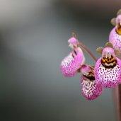 Calceolaria cana