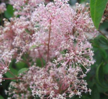 Ceanothus x pallidus 'Marie Simon' 8 flower, form