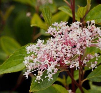 Ceanothus x pallidus 'Marie Simon' 9 flower