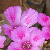 Clarkia amoena ssp. whitneyi