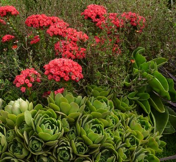 Crassula coccinea 3 flower