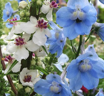 Delphinium belladonna 'Cliveden Beauty' 1 flower