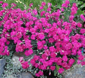 Dianthus gratianopolitanus 'Grandiflorus' 1 flower