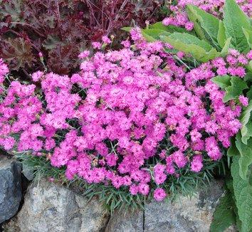 Dianthus gratianopolitanus 'Grandiflorus' 3 flower
