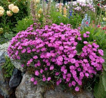 Dianthus plumarius 'Pinkerton'| plant lust