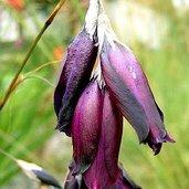 Dierama 'Blackbird'