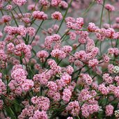 Eriogonum 'The Hub'