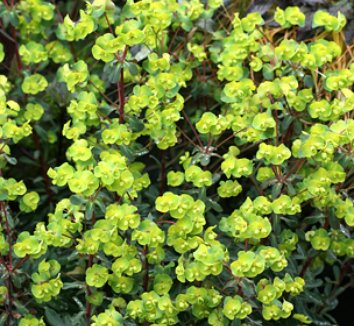 Euphorbia amygdaloides 'Purpurea' 1 flower