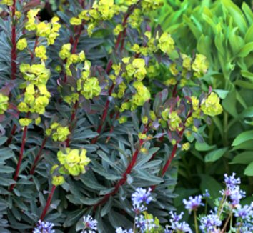 Euphorbia amygdaloides 'Purpurea' 4 flower